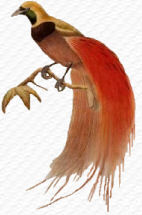 paradijsvogel www.west-papua.nl